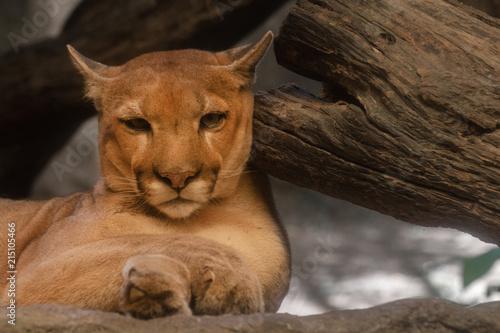 Canvas Tijger close up of a puma, mountain lion.