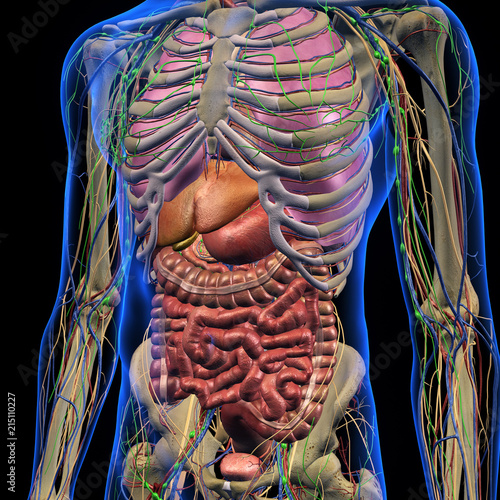 Male Internal Anatomy Of Chest And Abdominal Area On Black