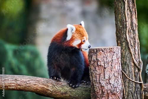 Fotobehang Panda roter Panda