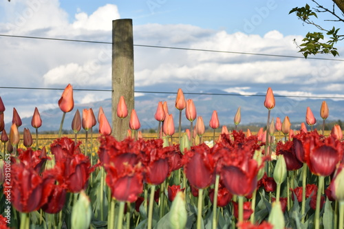 Fotobehang Tulpen The Fenceline