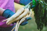 Farmer is holding a root parsley vegetables in her hands, Harvest in organic garden - 215121829