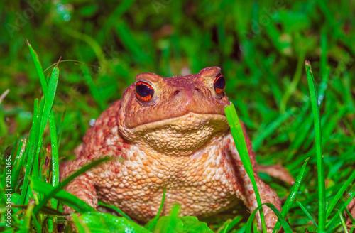 Foto Spatwand Kikker frog, Braslav lakes