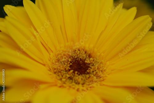 Foto Spatwand Gerbera yellow gerbera Flower
