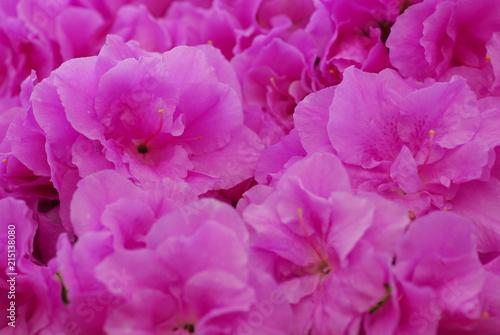 Canvas Azalea Pink Azalea flower