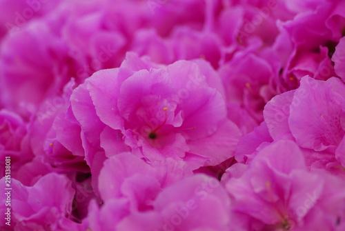In de dag Azalea Pink Azalea flower