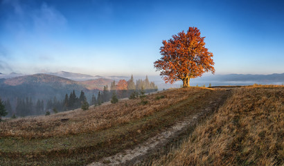 The first sun rays on lonely beech tree in foggy autumn landscape.