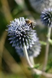 Echinops sphaerocephalus and food for honeybees and bees.