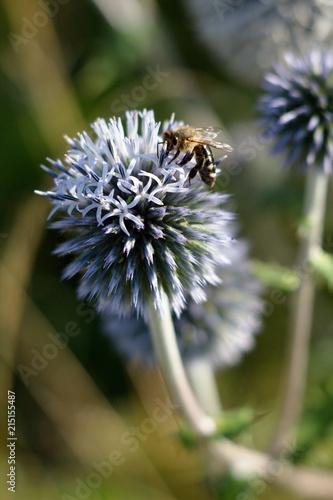Echinops sphaerocephalus and food for honeybees and bees. - 215155487