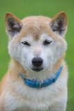 緑の中の柴犬 - 215159059
