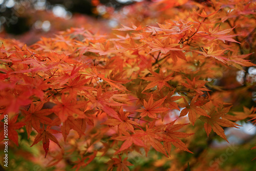 Maple trees at autumn in the garden