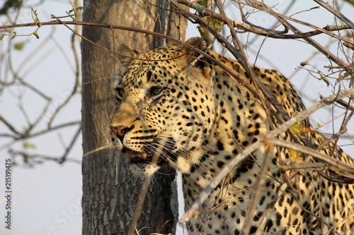 Fototapeta Close up of this majestic leopard resting in the late afternoon waiting for nightfall and on the lookout for prey in the grassland and tree lined mound lookouts in africa
