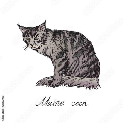 Maine coon,  cat breeds illustration with inscription, hand drawn colorful doodle, sketch, vector