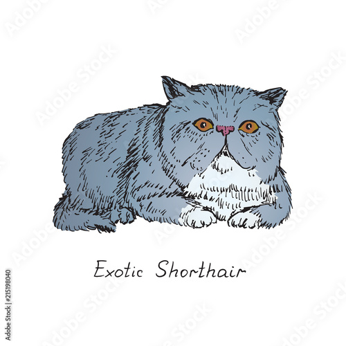 Exotic Shorthair, cat breeds illustration with inscription, hand drawn colorful doodle, sketch, vector