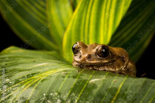 Foto Spatwand Kikker Tree Frog