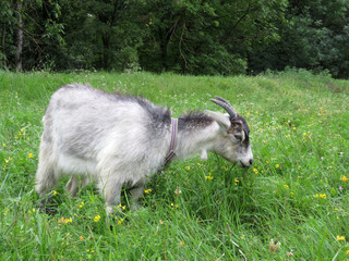 Goat grazing on a summer green meadow near the forest. Goat on a leash eating grass on the pasture
