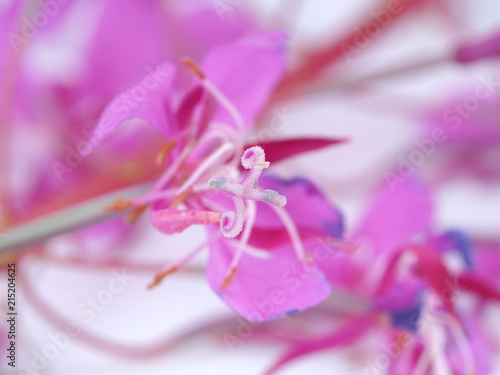 Leinwanddruck Bild flowers of willow tea on white background