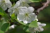 flower cherry tree - 215213676