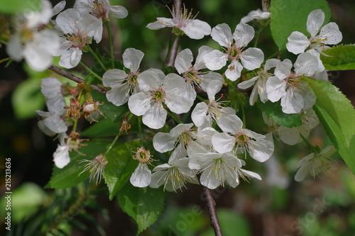 Foto Spatwand Kersen flower cherry tree