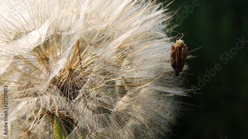 Canvas Paardenbloemen Close up of dandelion flower