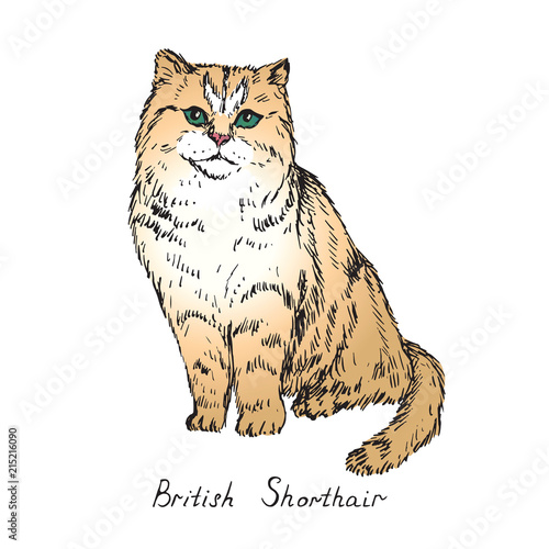 British shorthair, cat breeds illustration with inscription, hand drawn colorful doodle, sketch, vector