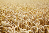 Wheat field. Ears of golden wheat close up. Beautiful Landscape. Rural Scenery early in the morning. Background of ripe ears of wheat field. Rich harvest Concept. Copy space.  - 215216620
