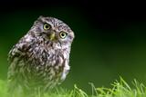 Little Owl portrait - 215227427