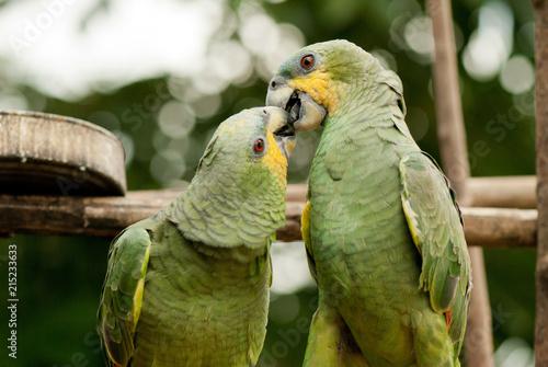 Foto Spatwand Papegaai Couple of parrots love kiss