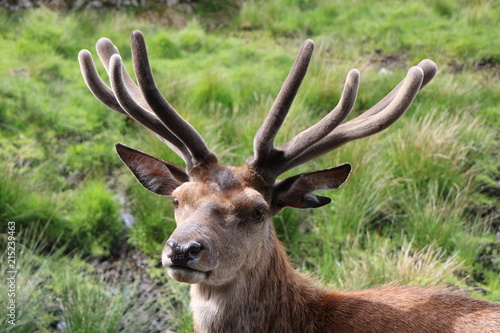 Plakat Red Deer Stag Szkocja