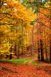 Quadro Yellow and green path in the autumn forest, Poland