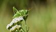 Heuschrecke, Grünes Heupferd auf Blume