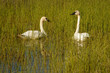 Two trumpeter swans on the Teslin lake, Yukon territory, Canada