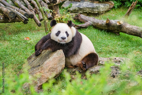 Fotobehang Panda Panda géant