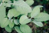 Sage, Salvia officinalis plant in the garden - 215346823