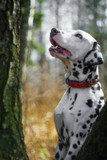 58/5000 Portret molodogo dalmatina na fone lesa. Vyborochnyy fokus. Portrait of a young dalmatian against a forest background. Selective focus.
