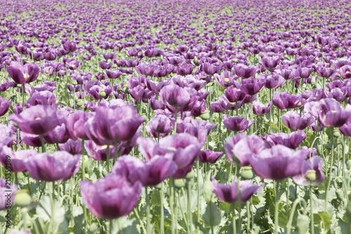 poppy_field_4