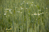 Closeup on wild chamomile flowers growing on green rye or wheat field. agriculture, nature, countryside.