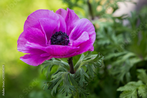 Close-up view of a beautiful pink poppy flower - 215385679