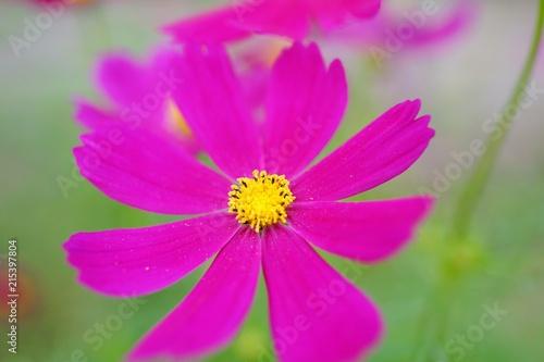 コスモスの花 - 215397804