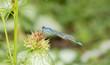Leinwanddruck Bild - Macro of Famiiar Bluet (Enallagma civile) Resting on a Dried Thistle Flower Head