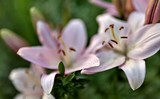 delicate pink lilies lit by the morning sun, soft focus