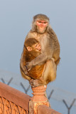 Macaque at the backside of the Taj Mahal in Agra, India