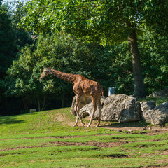 girafe © Ludwig