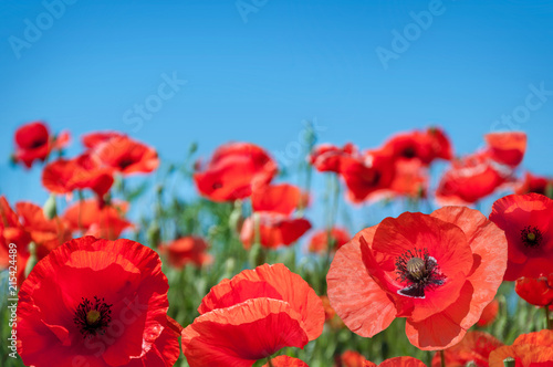 Flowers Red poppies blossom on wild field. - 215424489