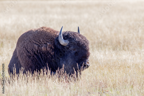 Canvas Bison Bison resting in the sun