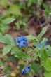 Wild blueberries growing in Minnesota