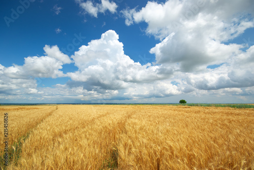Meadow of yellow wheat.