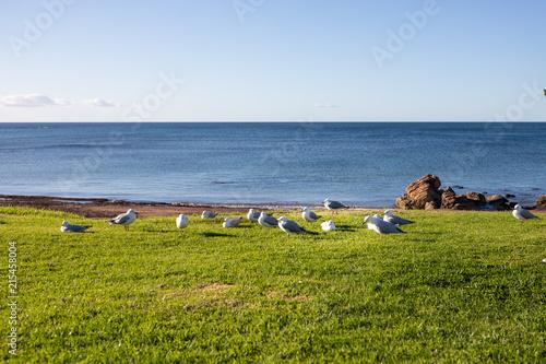 Foto Spatwand Pinguin Seagulls on the grass in Penguin, Tasmania, Australia.