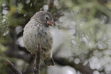 Small ground finch (Geospiza fuliginosa) female on branch, Urvina Bay, Isabela, Galapagos Islands, Ecuador - 215467084