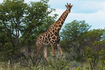Giraffe in Etosha National Park in Namibia in Africa