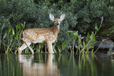 White-tailed Deer fawn drying off after a morning swim - 215494826